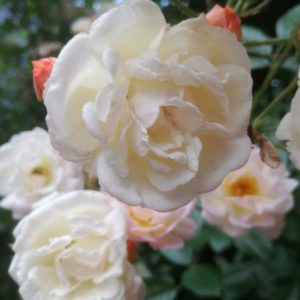 retrograde is smell the roses door astraya astrologie